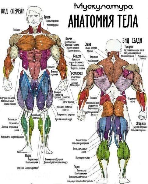 Мускулатуры. Анатомия тела. Самбо-Уфа