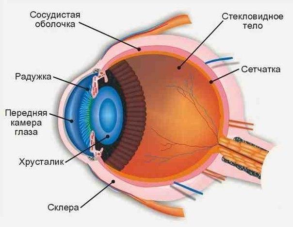 Схема строения глаза. Самбо-Уфа