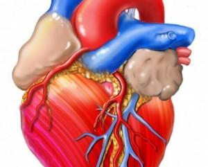 Клетки сердца человека. Самбо-Уфа